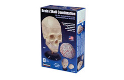 Lindberg 1/1 Human Skull And Brain - ln71301