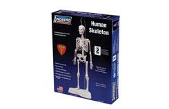 Lindberg 1/5 Human Skeleton - ln71304